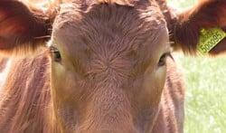 Limousin is een bruin koeienras. Foto: archief Achterhoek Nieuws