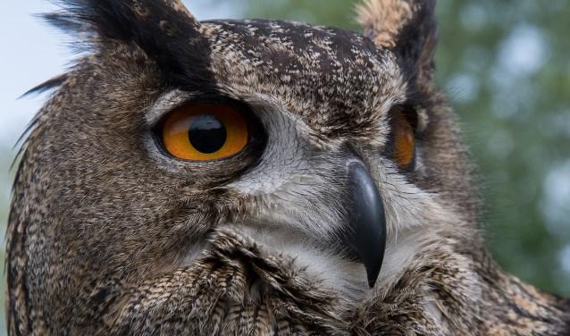 De oehoe vliegt geruisloos. Foto: Jack Doorman