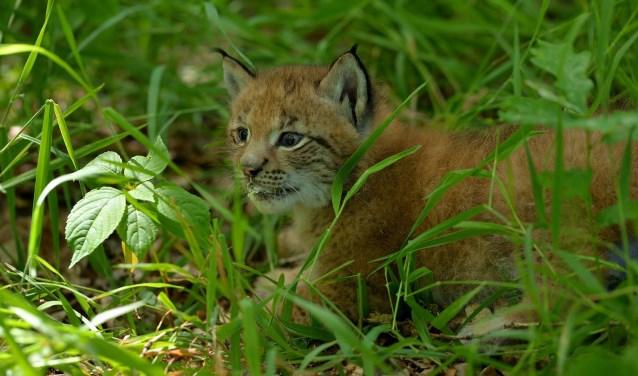 De lynx zal steeds vaker en beter te zien zijn voor het publiek, naar mate ze groter wordt. Foto: Marcel Bressers