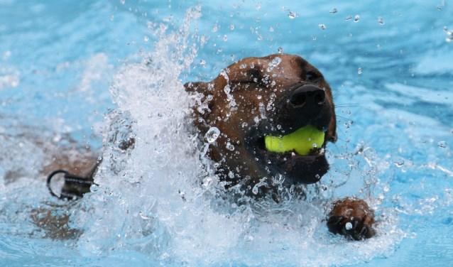 Hondenzwemmen 2016. Foto: Gerhard Weevers