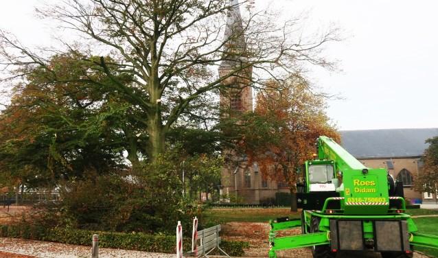 De te kappen monumentale beukenboom in Beltrum. Foto: Theo Huijskes