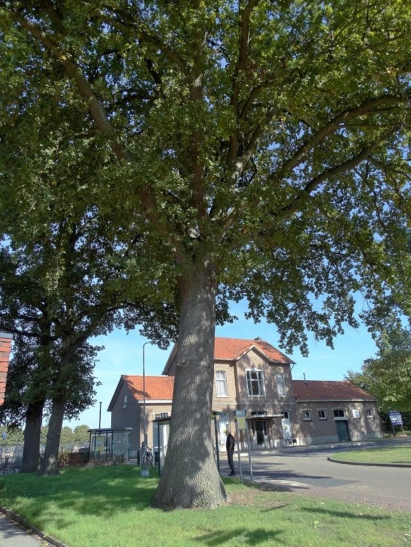 De dikste eik bij het station van Vorden wordt bij het Landelijk Register van Monumentale Bomen aangemeld. Foto: Gerlinde Bulten