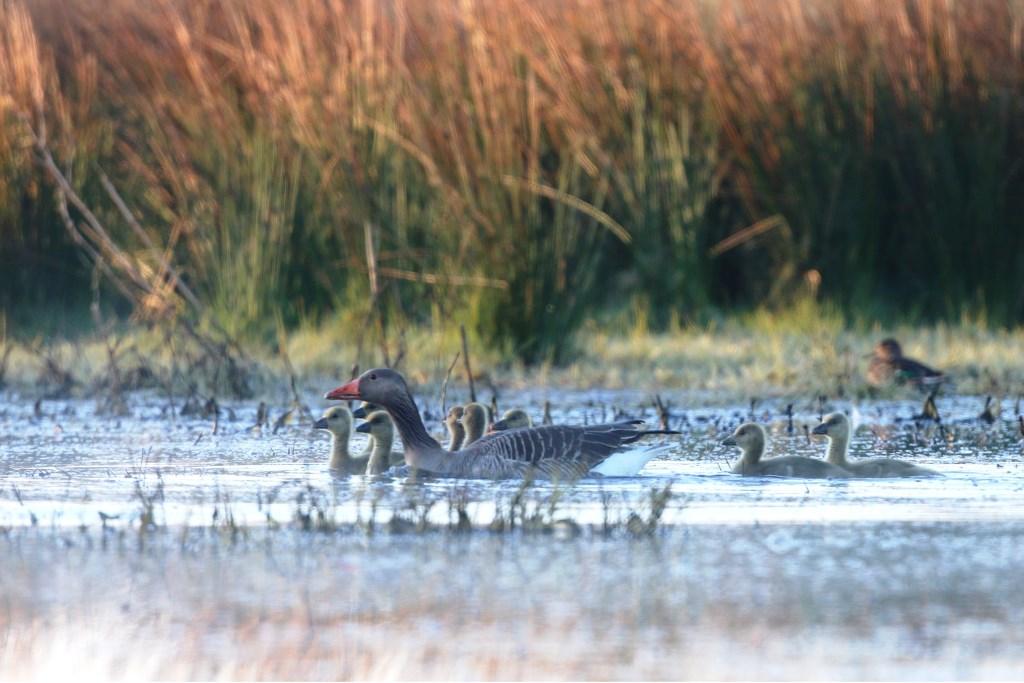 Grauwe ganzen in een ander jaargetijde. Foto: Jan Stronks  © Achterhoek Nieuws b.v.