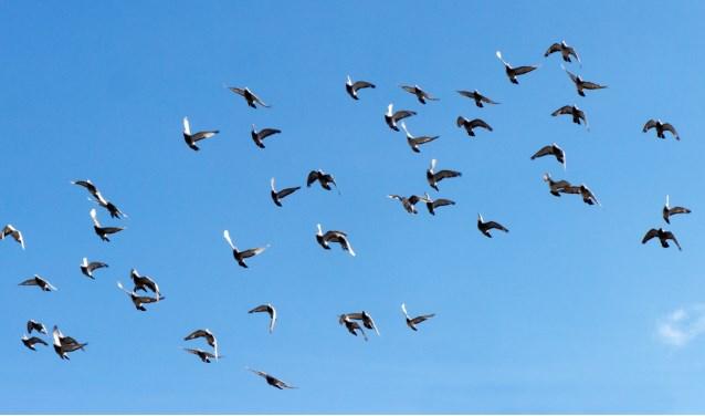 De duiven zijn begonnen aan hun terugreis. Foto: Robert Borneman