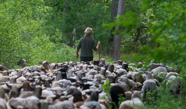 Ruim 200 schapen gaan met circa 230 lammetjes voor het eerst na de lammertijd richting de hei. Foto: PR