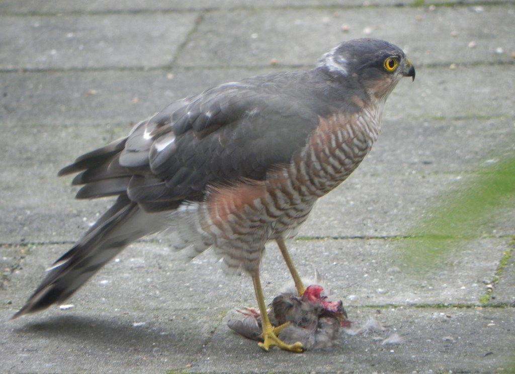 De Jonge Vogelaars hopen een sperwer te zien. Foto: PR