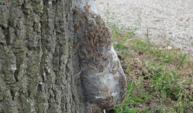 Het nest langs het pad bij de Voornekamp. Foto: PR