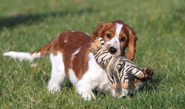 De puppycursus is belangrijk voor een jong hondje. Foto: Ria van Middelaar