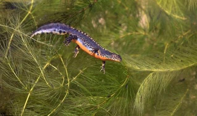 Watersalamander voelt zich thuis in een poel. Foto: PR