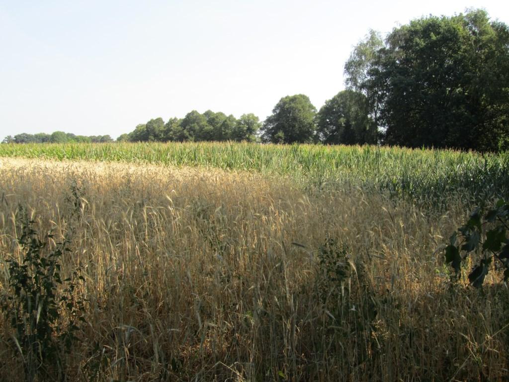 Naast de rogge ligt een maïsveld. Foto: Bernhard Harfsterkamp  © Achterhoek Nieuws b.v.