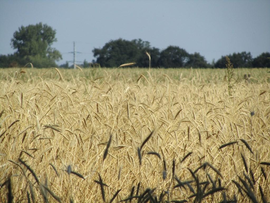 Het graanveld voor me. Foto: Bernhard Harfsterkamp