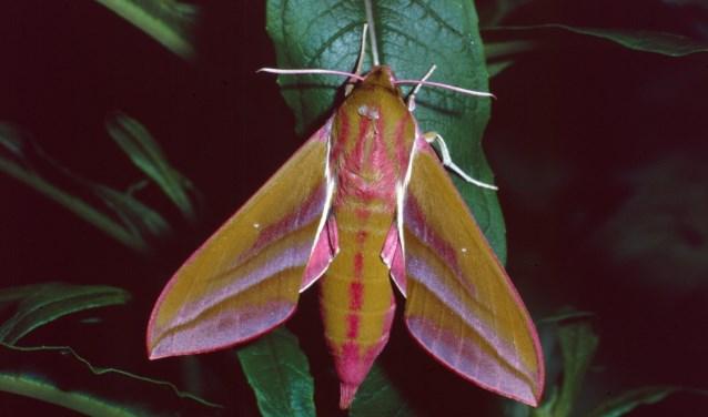 De nachtvlinder Avondrood. Foto: PR Vlinderstichting