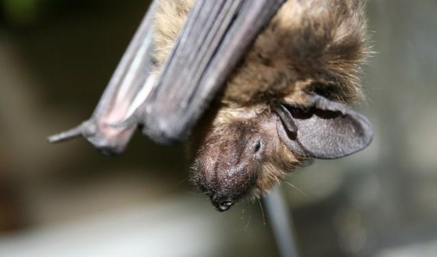 Een vleermuis. Foto: Natuurmonumenten - J. Mercelissen