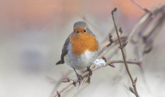 Een roodborstje komt misschien ook wel voorbij tijdens de IVN-wintermiddag bij Careaz Dr. Jenny. Foto: PR