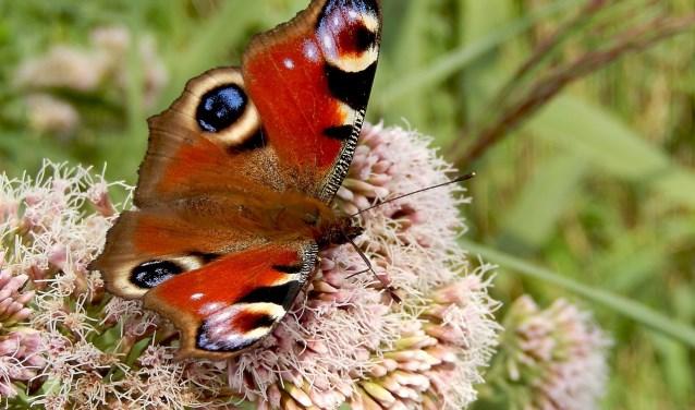 Dagpauwoog. Foto: Vlinderstichting