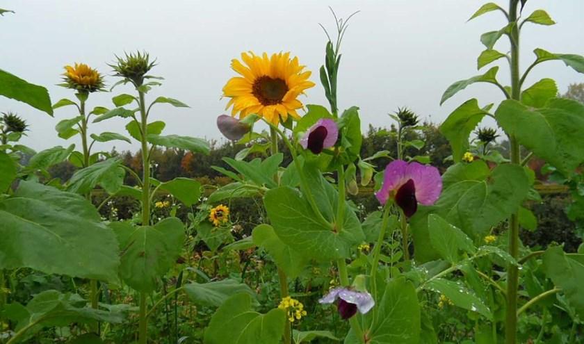 Behalve dat de kleurrijke bloemen zorgen voor een mooi plaatje, zijn ze belangrijk voor weidevogels als de patrijs. Foto: PR