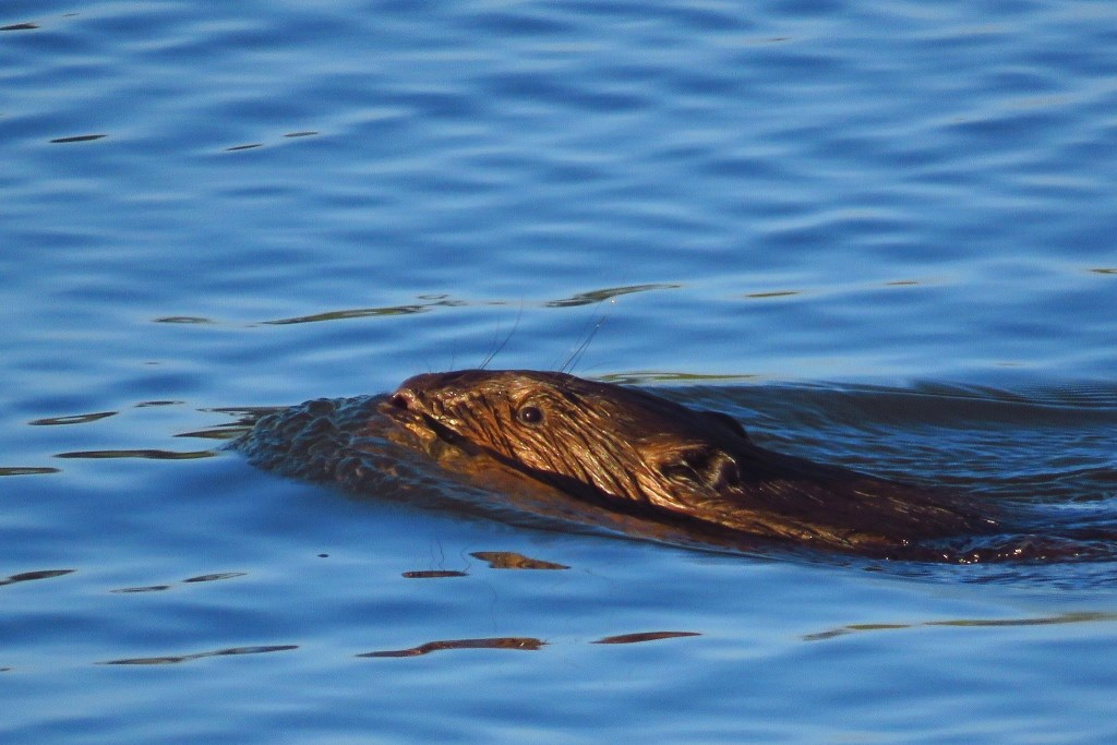Een zwemmende bever. Foto: Gerrit Riethorst   © Achterhoek Nieuws b.v.