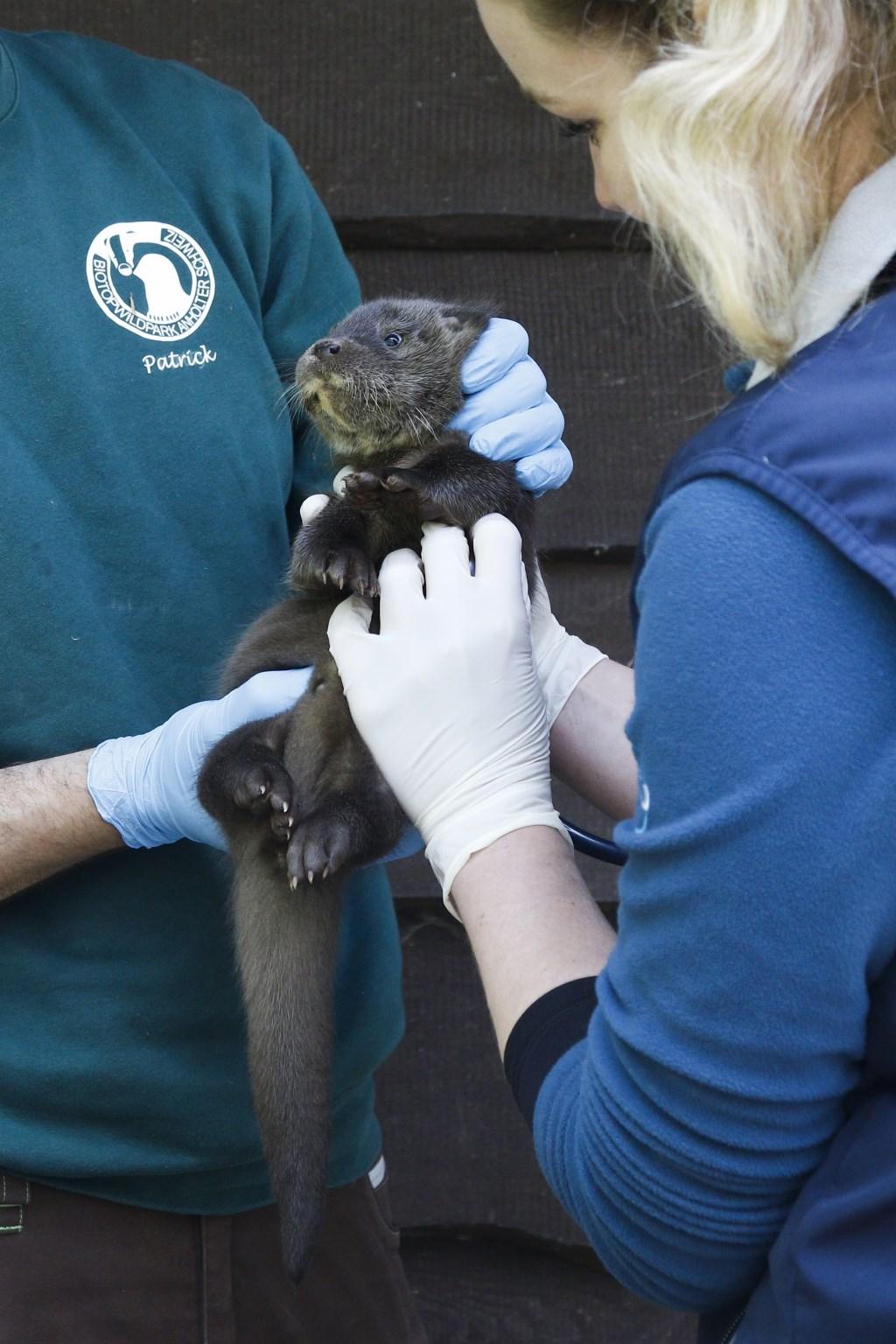 De jonge otter wordt onderzocht. Foto: Henri van Vliet  © Achterhoek Nieuws b.v.