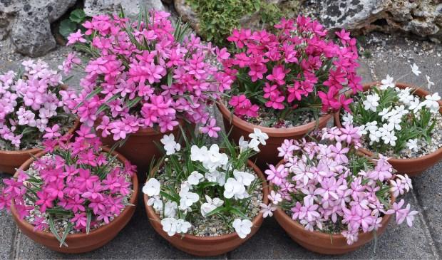 De bloeiende plant Rhodohypoxis staat centraal tijdens deze open tuindagen. Foto: PR