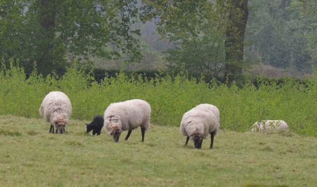 In Eefde begint op 15 mei een proef met begrazing van grasvelden en bermen door schapen. Foto: Achterhoekfoto.nl/Johan Braakman
