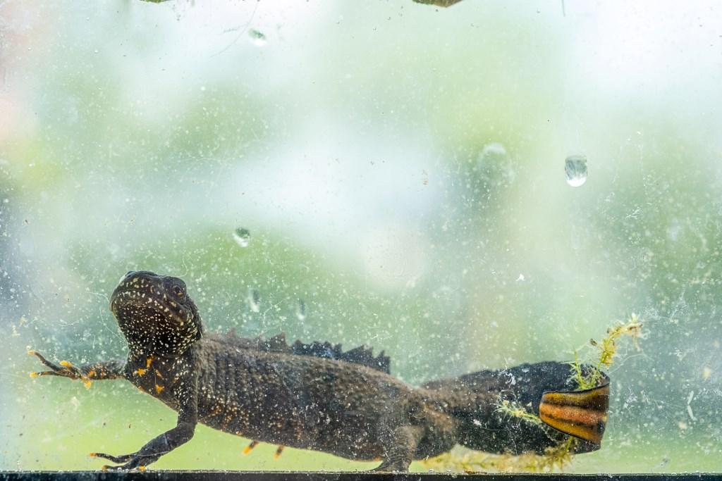De zeldzame kamsalamander is bewoner van de kikkerpoel in de Zumpe. Foto: Burry van den Brink  © Achterhoek Nieuws b.v.