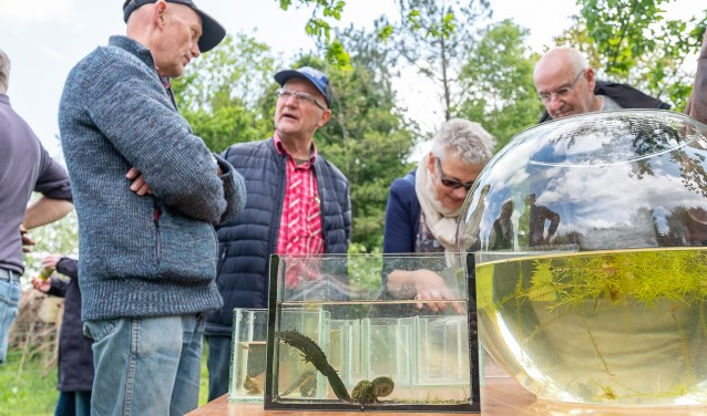 Aandachtige bezoekers van de open dag in de Zumpe; op voorgrond de zeldzame kamsalamander, die even later werd teruggezet in de poel. Foto: Burry van den Brink