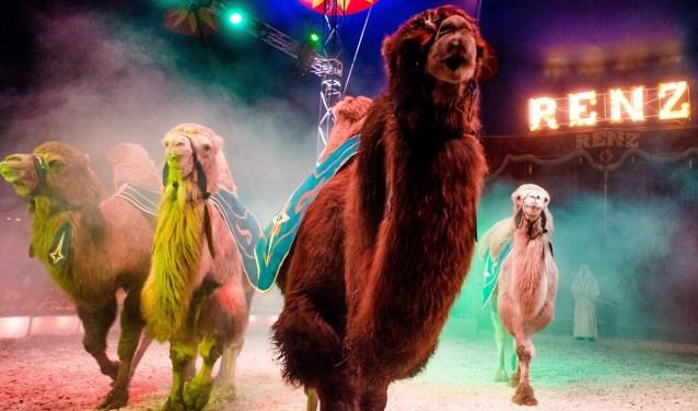 Circus Renz presenteert met trots hun dieren, waaronder kamelen. Foto: PR