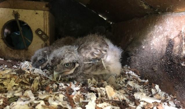 Bij De Bult zijn jonge uiltjes in de kast, zij worden vrijdags geringd en gewogen. Foto: PR