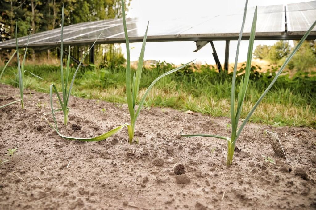 Groenten groeien goed in Solarpark de Kwekerij in Hengelo. Foto: Jonny Lawson   © Achterhoek Nieuws b.v.