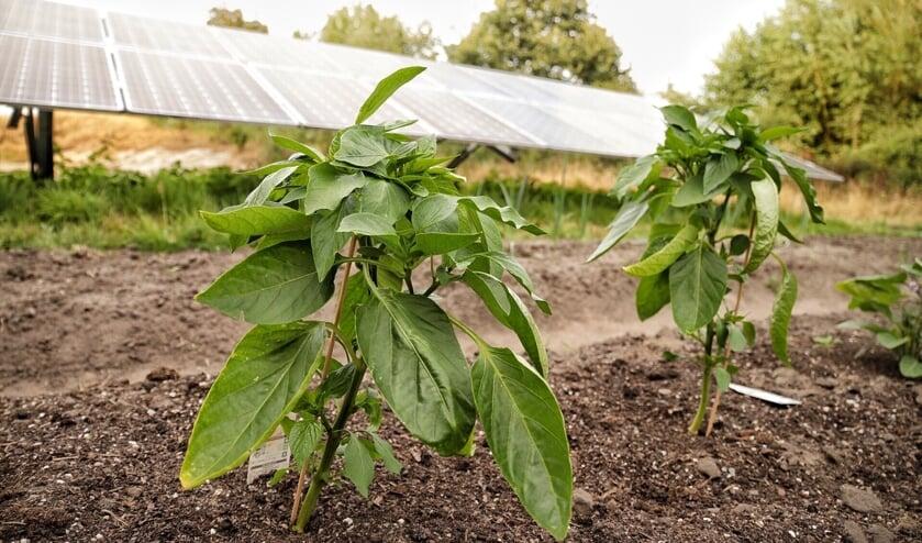 Groenten groeien goed in Solarpark de Kwekerij in Hengelo. Foto: Jonny Lawson