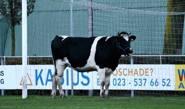 Waar schijt de koe bij FC Uitgeest