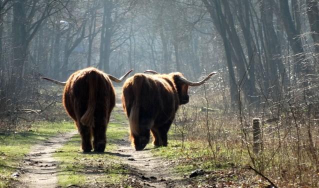 Twee Schotse Hooglanders in het Duinreservaat