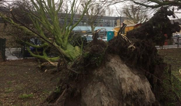 De storm in januari 2018 was te heftig voor deze boom op de Sluijsweidt.