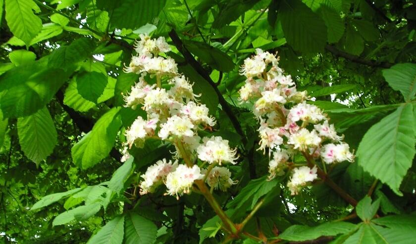 De kastanjebloesem is prachtig op het moment.