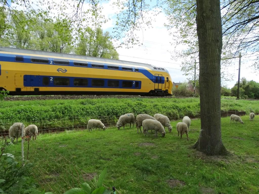 Grazende schapen langs de Vondelstraat