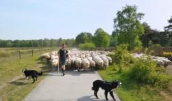 Een kudde schapen. Foto: Schapenbegrazing.nl