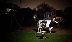 Opmerkelijk stilleven: koe in speeltuin.