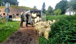De schapen zijn er weer