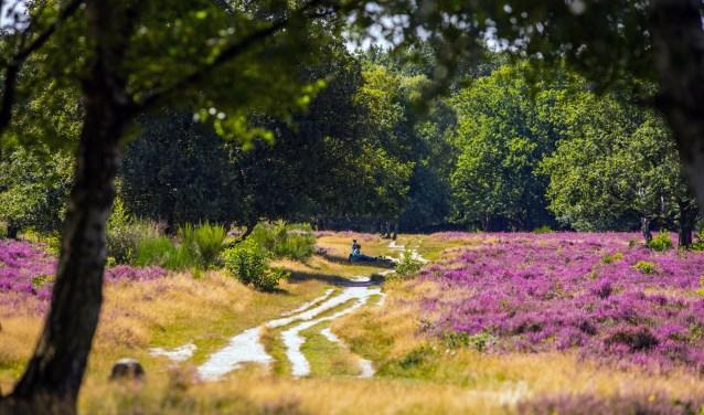 Hoorneboegse Heide in bloei