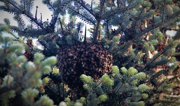De bijen vormden een druppelvormige bel in de boom.