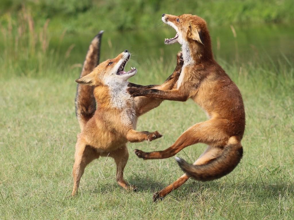 Met deze foto van vechtende vossen doet Sanne mee aan de wedstrijd.