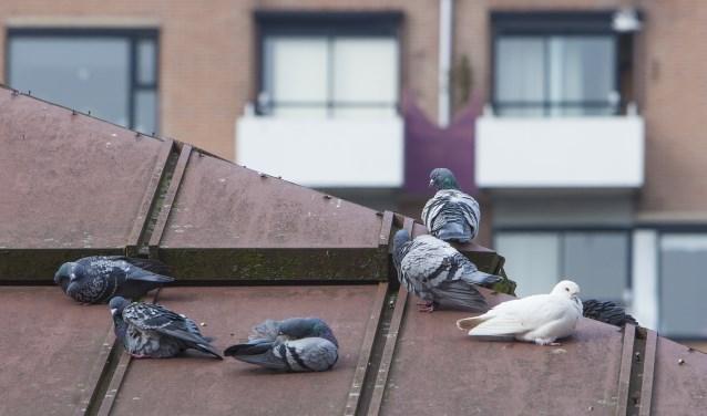 Duiven op het dak van een restaurant in de Oostermeent. Op de achtergrond de Rustmaat.