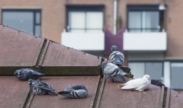 Raad kiest voerverbod voor alleen wilde duiven