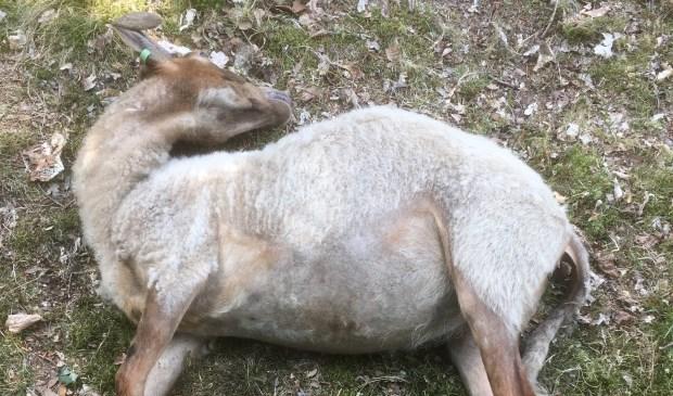 Een van de overleden schapen.