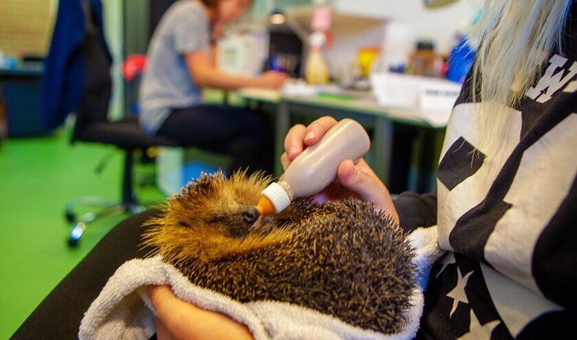 Een van de vrijwilligers voert een egel in de opvang.