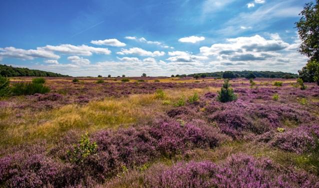 Hoorneboegse Heide in bloei.