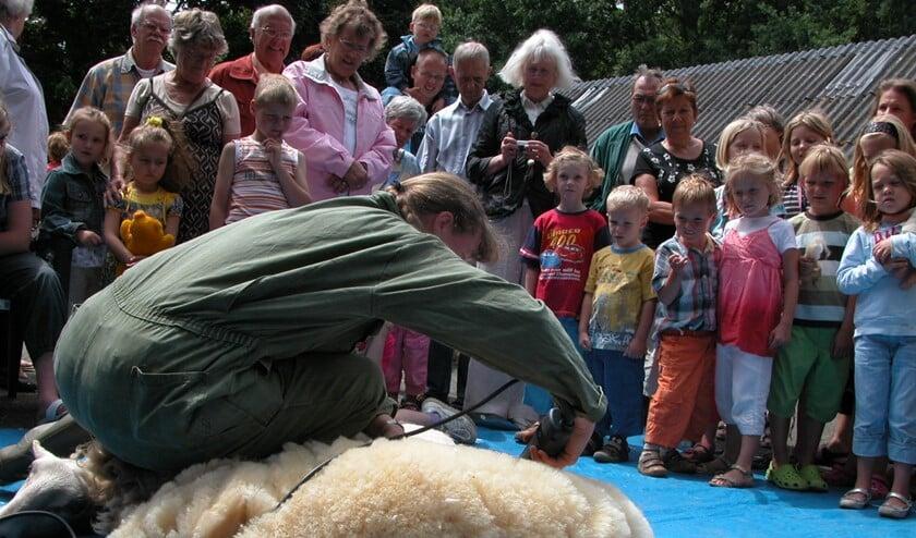 De schapen bij Kinderboerderij Warande worden zaterdag geschoren.