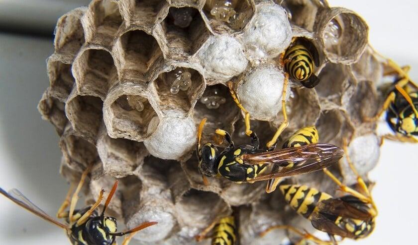 Wanneer beginnen wespen met het vormen van een wespennest?