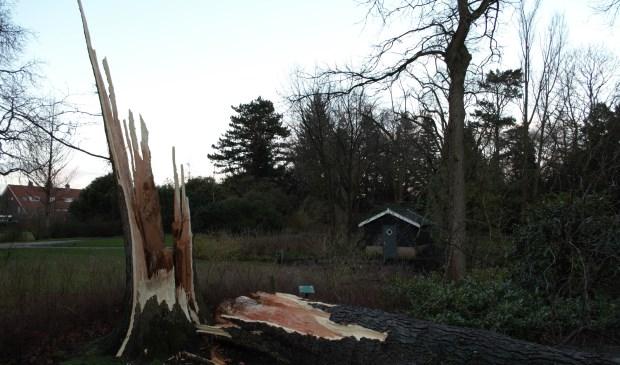 Tijdens de storm van donderdag 18 januari is de reusachtige 85 jaar oude Christusdoorn met donderend geraas gebroken
