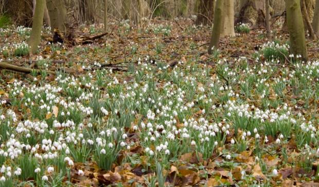 Stinsenplanten zoals sneeuwklokjes bieden al vroeg in het voorjaar voedsel aan insecten. (foto Renk Ruiter)